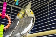 Two cockatiel birds in cage looking back to camera