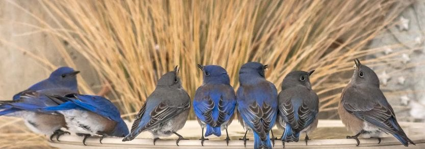 Group of wild western bluebirds sitting on edge of bird fountain eating and drinking