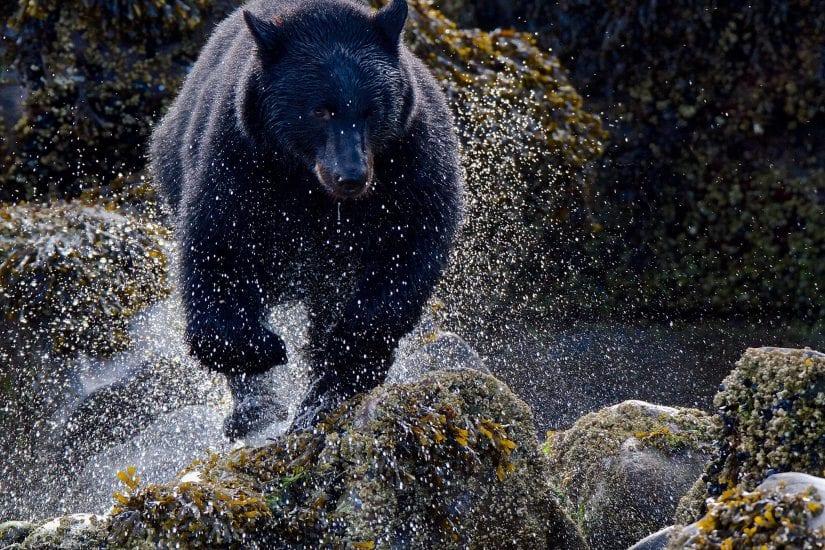 Black Bear in water photo by Melanie Leeson