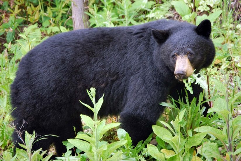 Wild black bear eating plants in forest