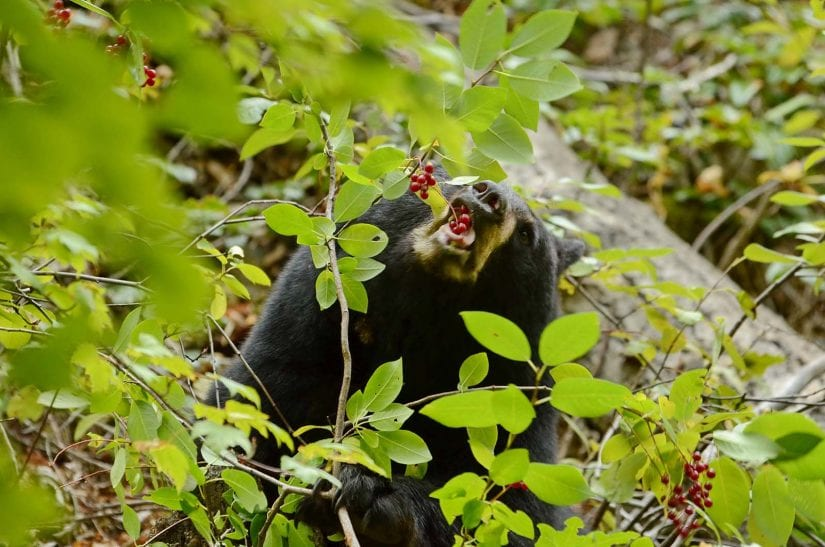 Wild black bear eating red berries off branch
