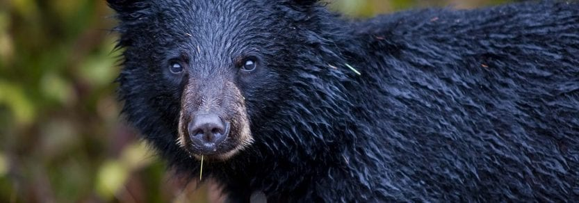 Young wild black bear wet from water eating grass