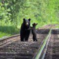 Black bear mom and cub on rail tracks