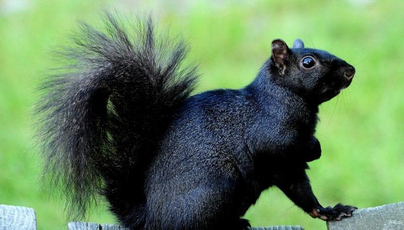 Squirrels in B.C.