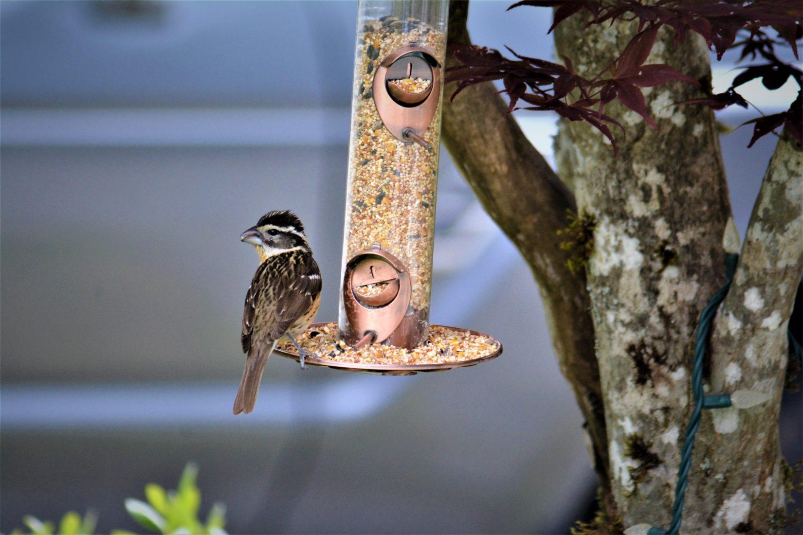 Grosbeak bird sits at bottom of bird feeder