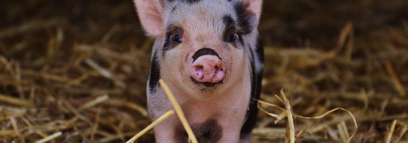 Piglet in straw