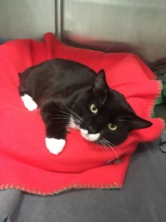 Black and white cat, named Jo. Medical Emergency.