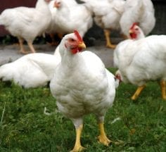 broiler chickens on pasture