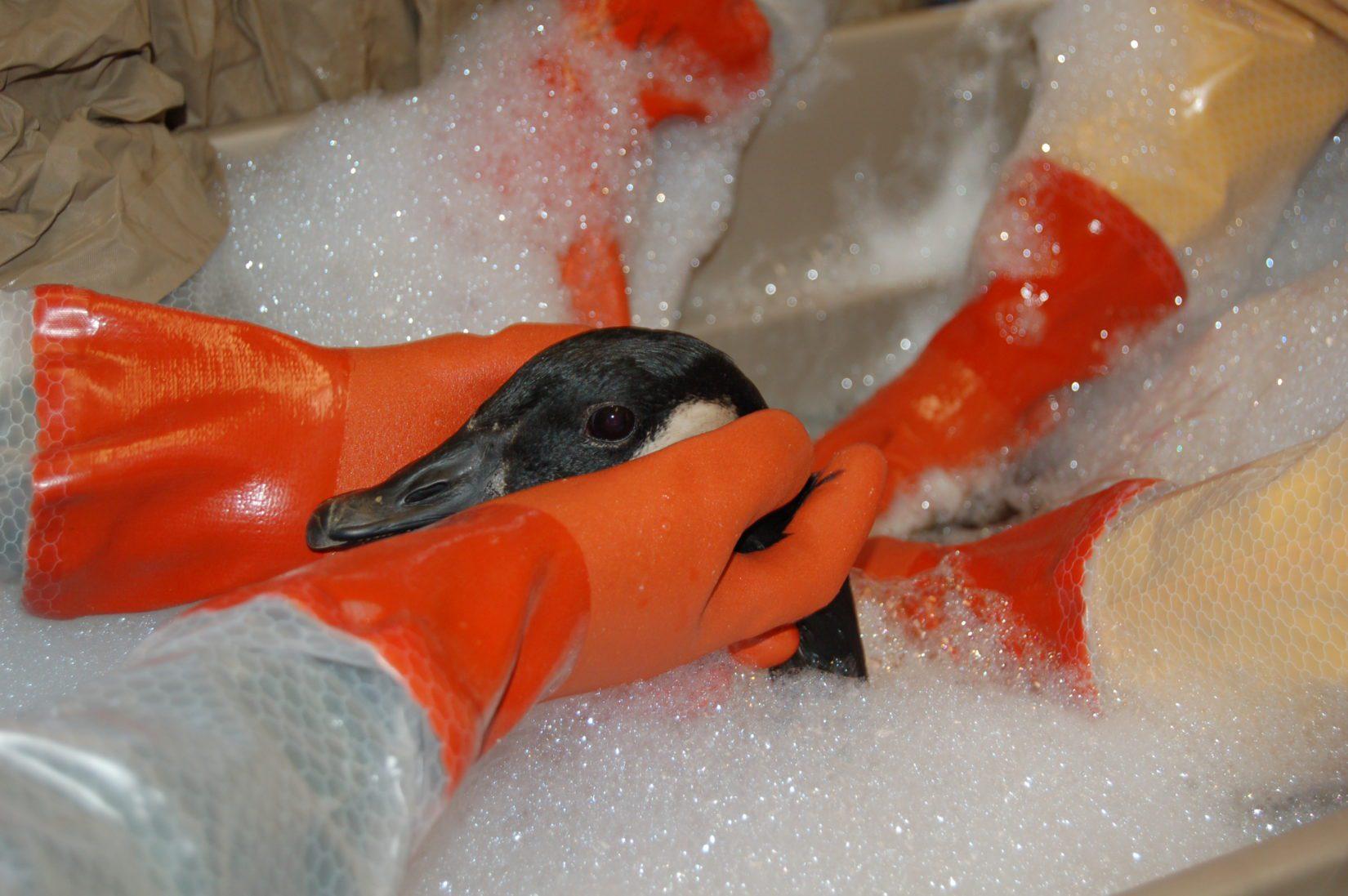 An oiled Canada goose gets a bath