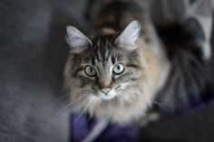Fluffy cute cat looking up into the camera lens