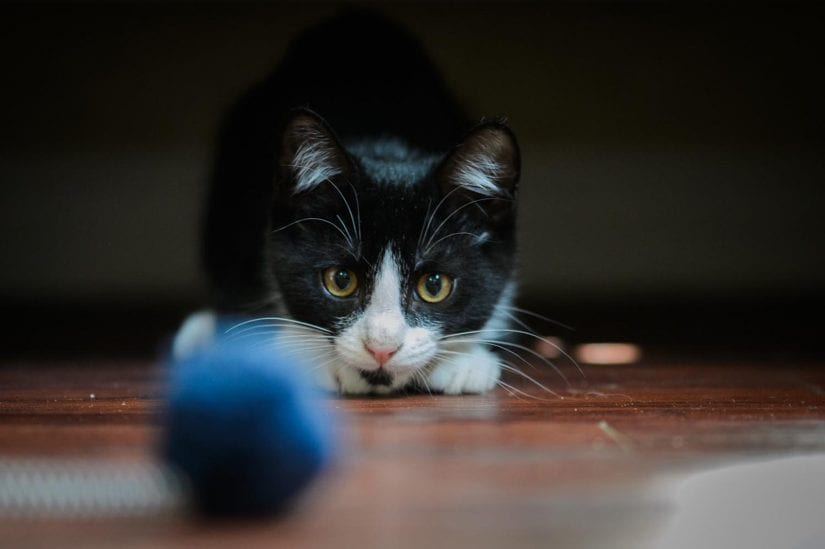 Playful black and white kitten crouching down ready to pounce on blue toy ball