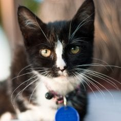 Close up shot of black and white kitten wearing collar with id