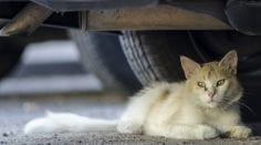 Feral cat outdoors lying on pavement underneath car