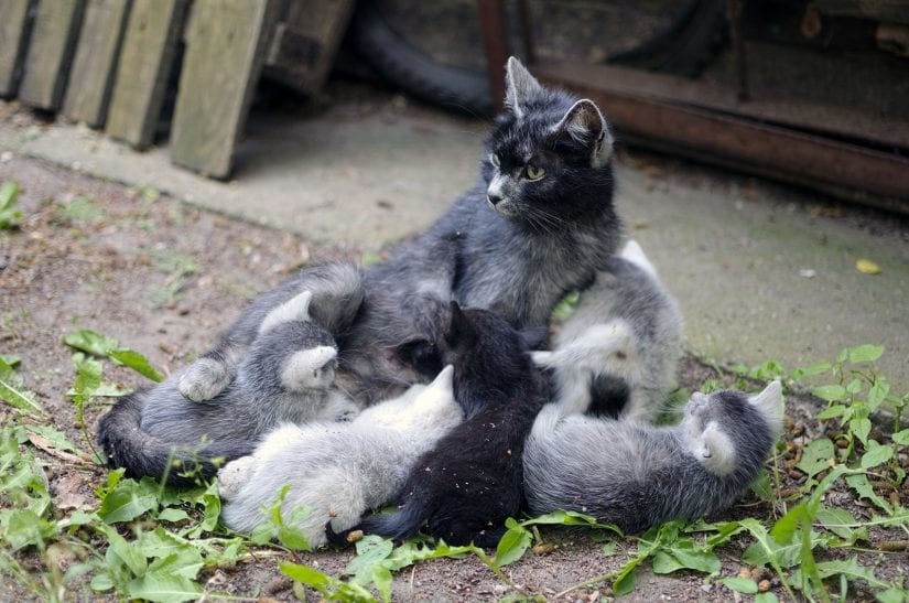 Feral mother cat nursing her kitten litter outdoors