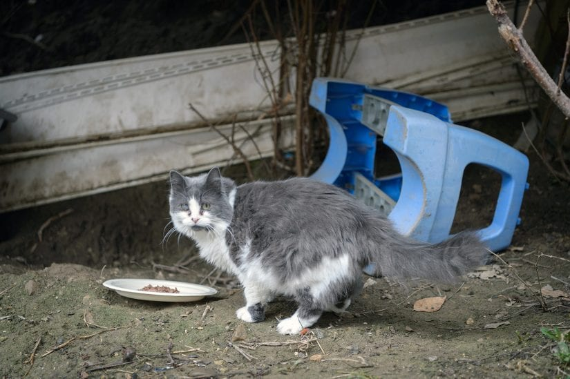 Feral stray cat with different coloured eyes looking back at camera near plate with placed food
