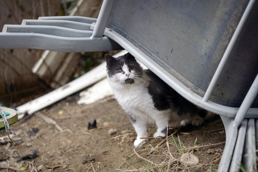 Feral stray cat looking curiously from under chairs