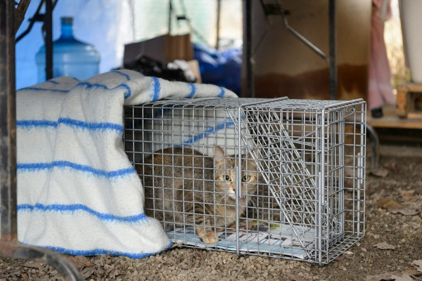 Feral scared stray cat caught in trap cage to be released and cared for