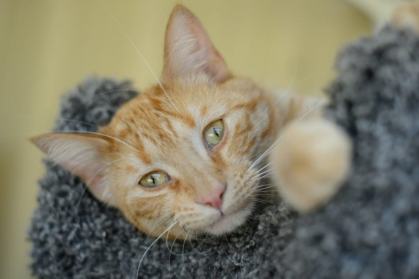 Cute ginger coloured cat lying down on cat perch post looking into lens