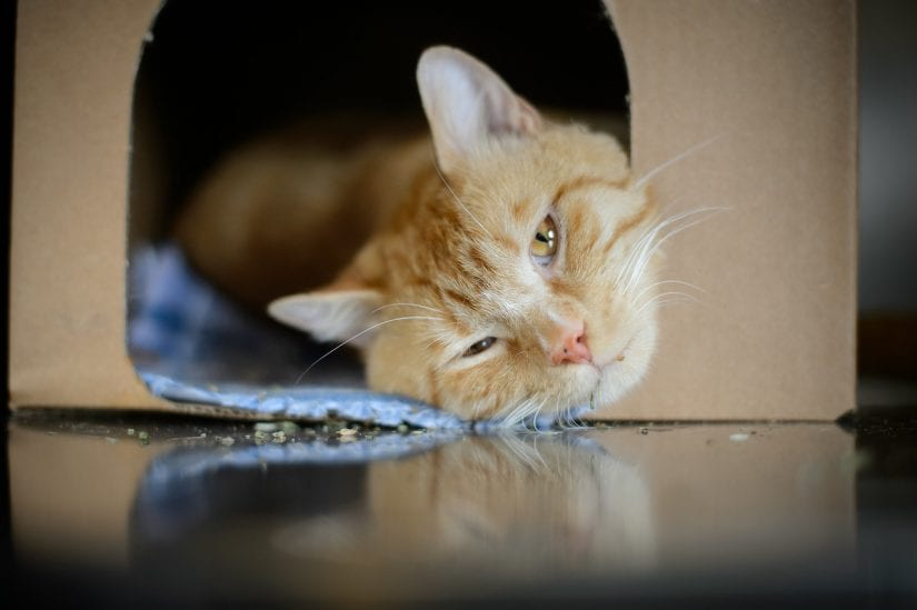 Cute ginger coloured cat lying down sleepy in a hide perch and go box