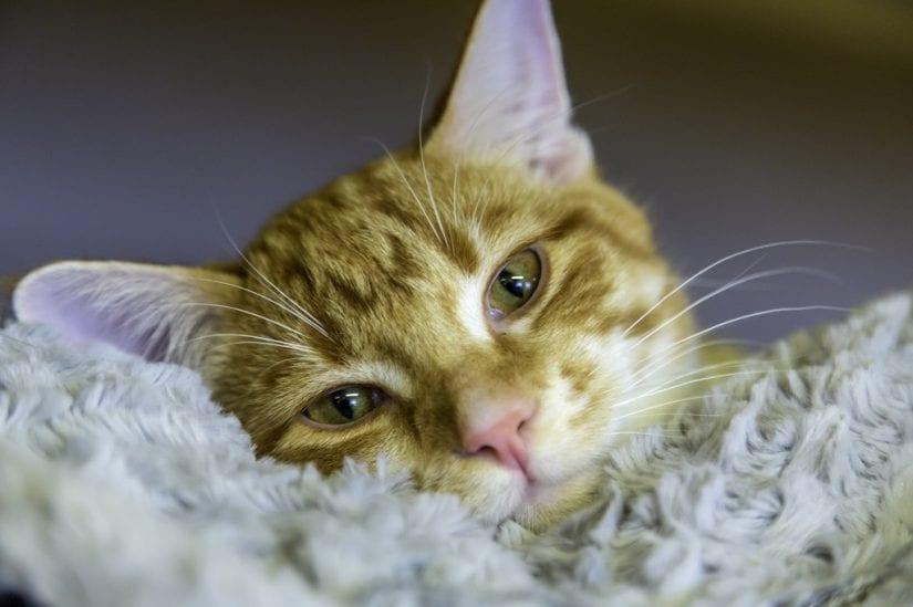 Cute ginger coloured cat looking sleepy lying head down onto blanket