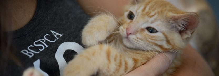 Cute ginger coloured kitten lying on back being cradled by person