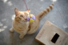 Ginger coloured cat touching nose to string ball toy