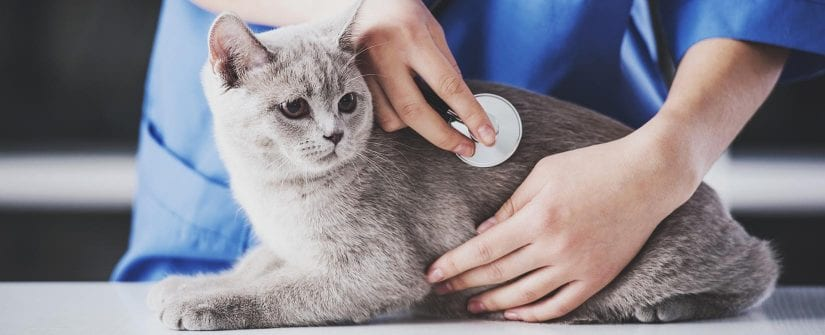 Veterinarian listening to stethoscope while examining a cute, grey cat