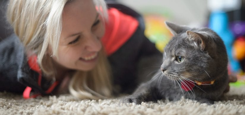 Curious and playful grey cat lying down on carpet wearing collar and id being pet by woman