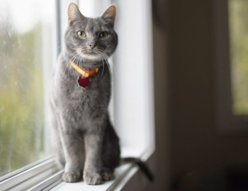 Curious grey cat sitting on windowsill wearing collar and id indoors