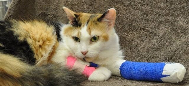 cat wearing two casts lying down