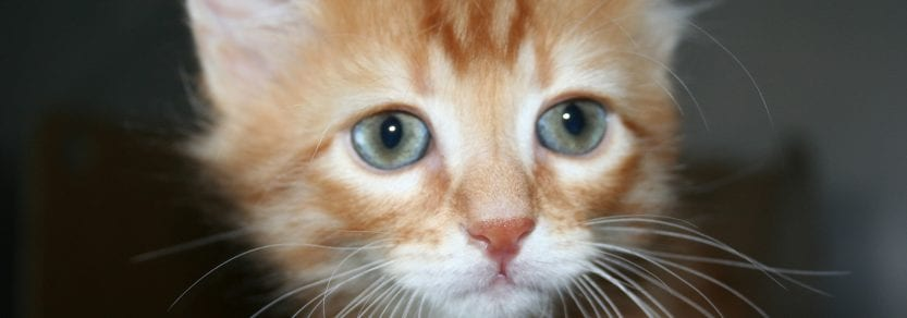 Ginger kitten close up shot looking sad