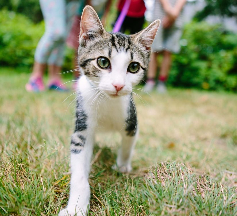 Young cat walking outdoors on a leash being held by a group of kids