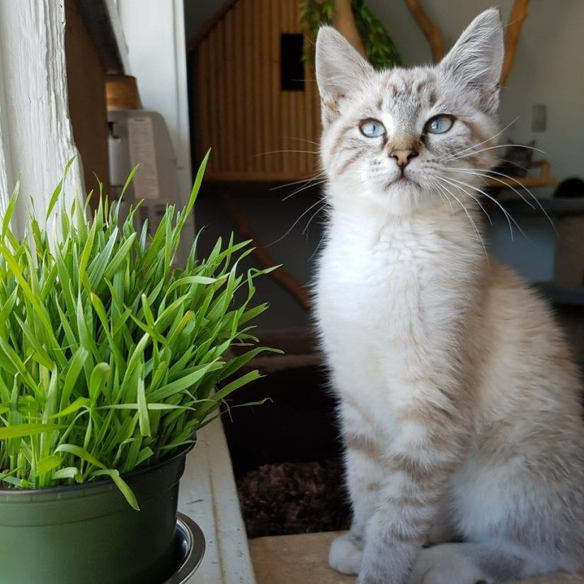 Blue eyed kitten sitting near plant by windowsill