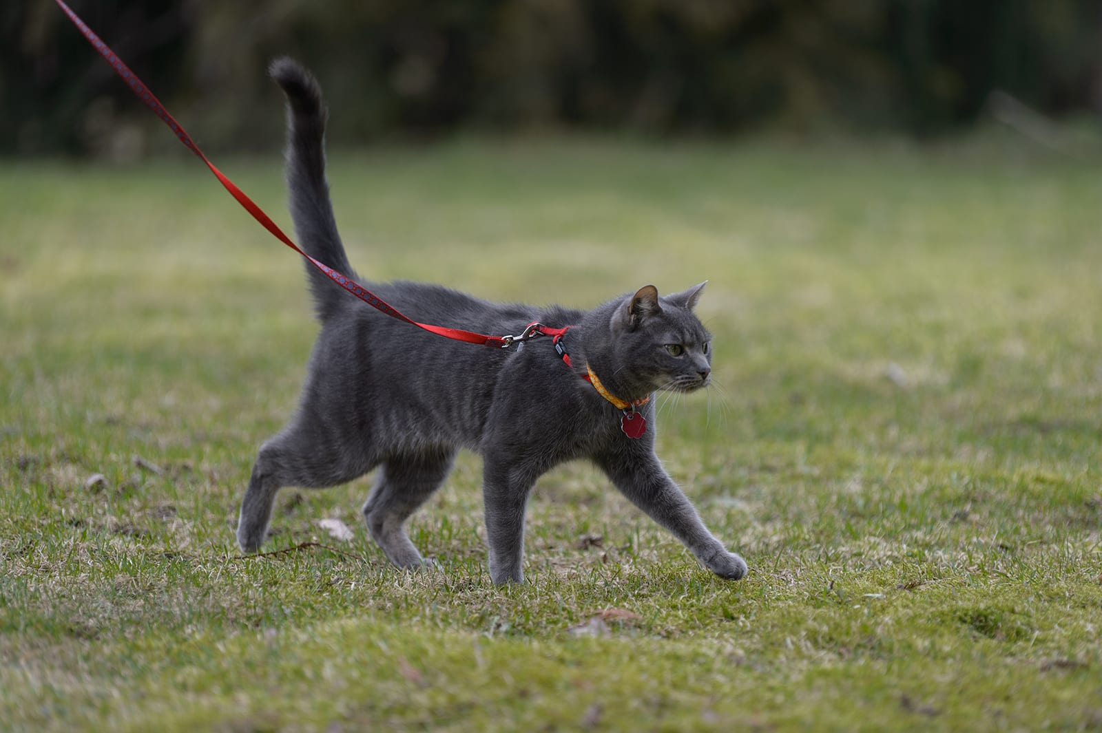 Cat outdoors wearing a collar and id while being walked on a leash
