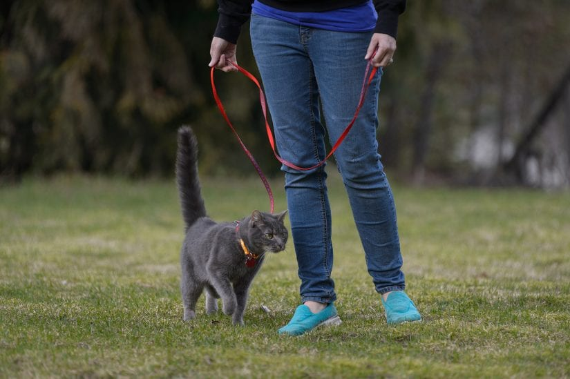 Cat being walked outdoors on a leash while wearing a collar and id
