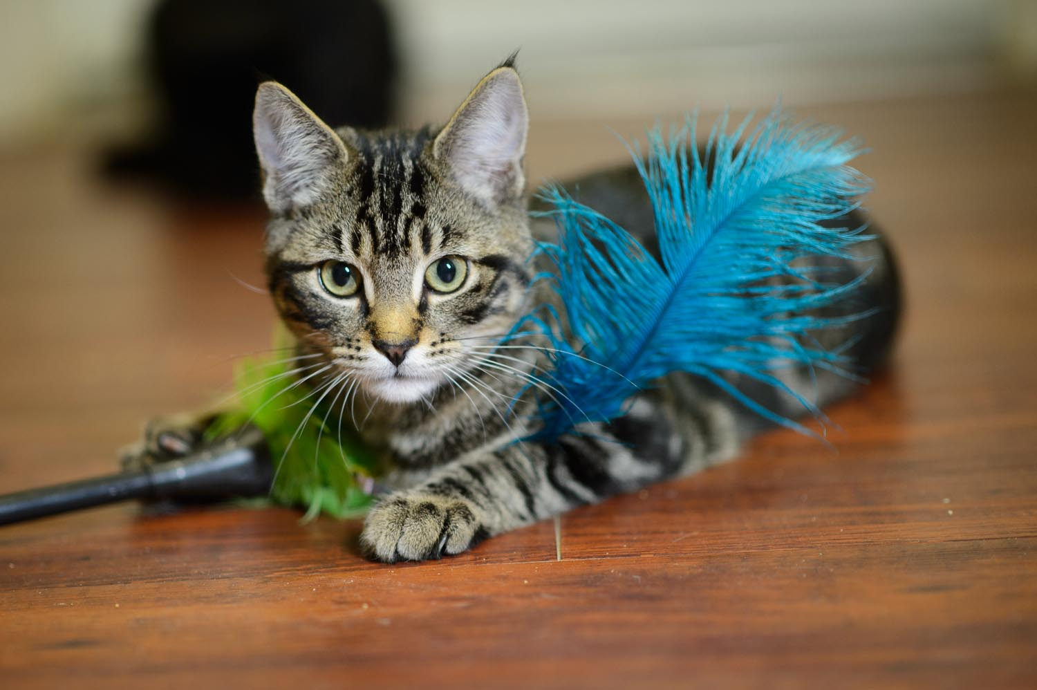 Curious cute tabby cat lying on wood floor playing with feather wand toy