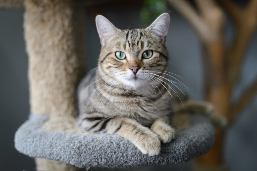 Tabby cat perched on cat tree looin into camera lens