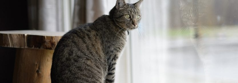 Tabby cat sitting on perch looking out window curiously