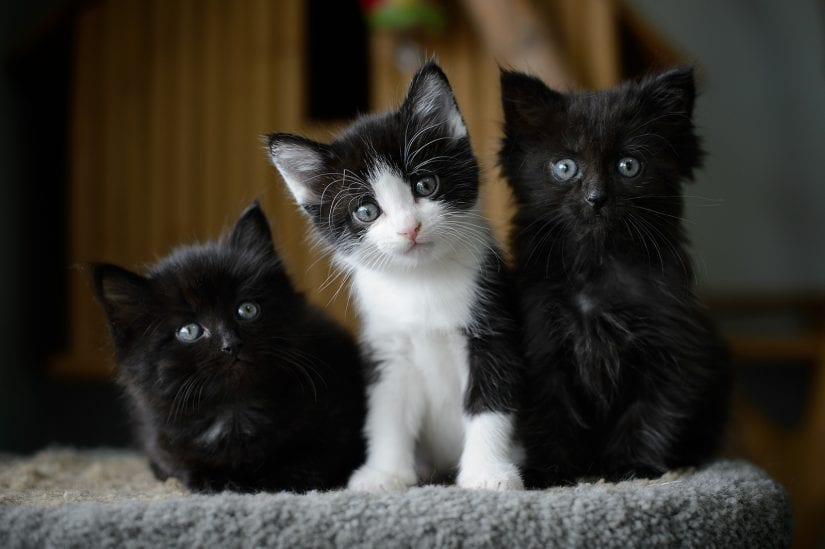 Three cute kittens sitting on cat perch all with beautiful blue eyes