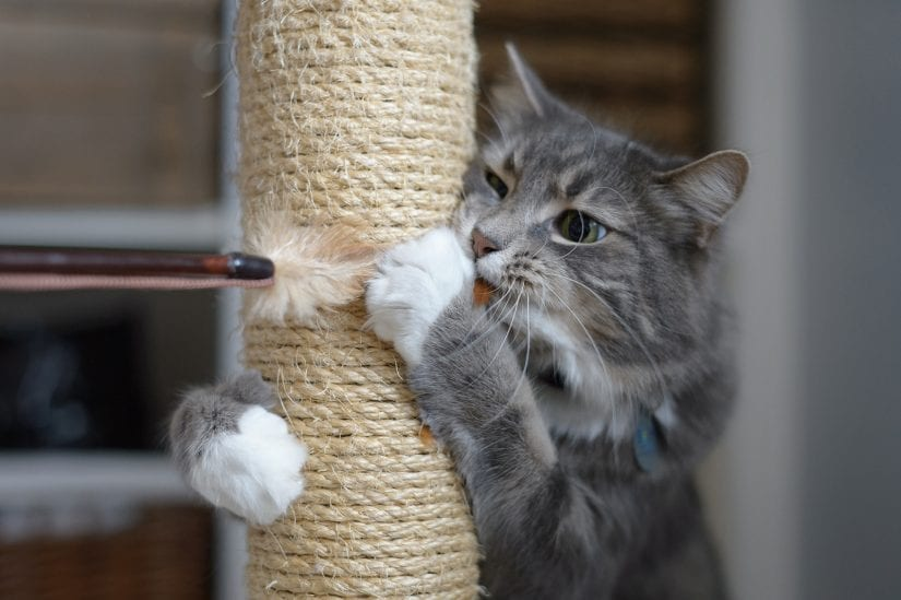Cat using stretching post playing with a wand toy