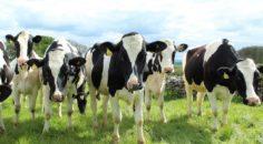 Cattle enjoying the sun BC SPCA FarmSense