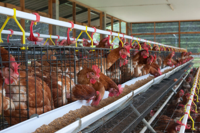Laying hens in cages on a chicken farm