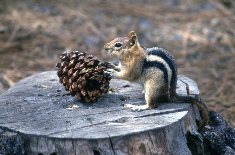 Wild chipmunk on stump with paws on a pinecone