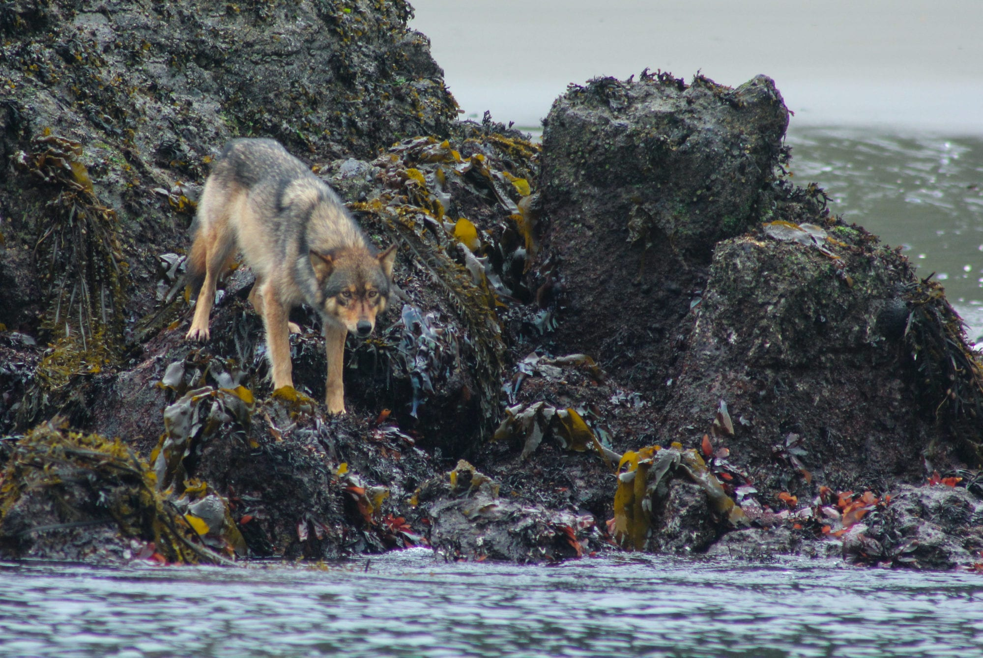 Coastal Wolf on the rocky edge of the water