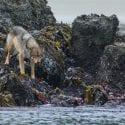 Wild coastal wolf near ocean on seaweed covered rocks