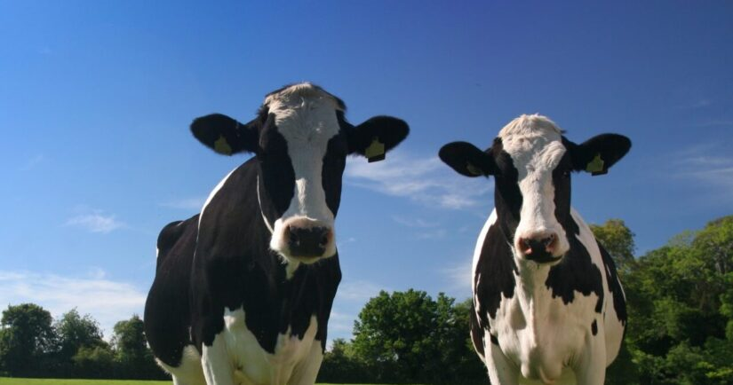 Two dairy cows outside on pasture