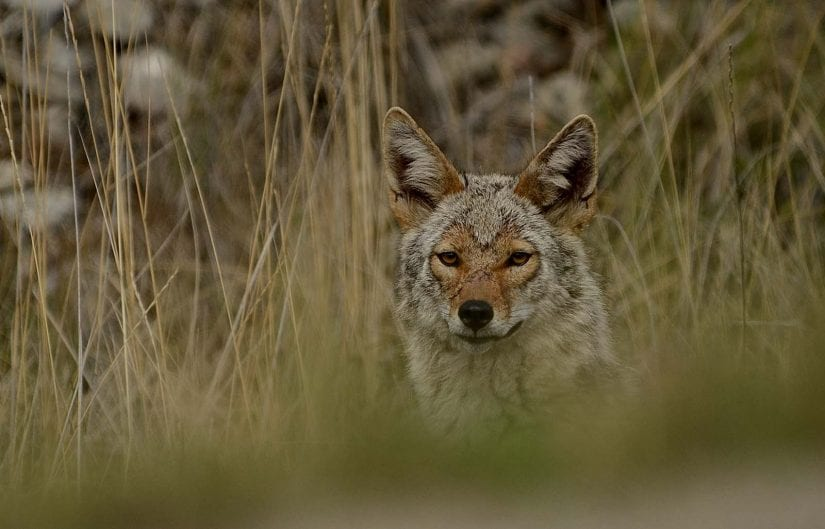 Wild coyote in tall long grass