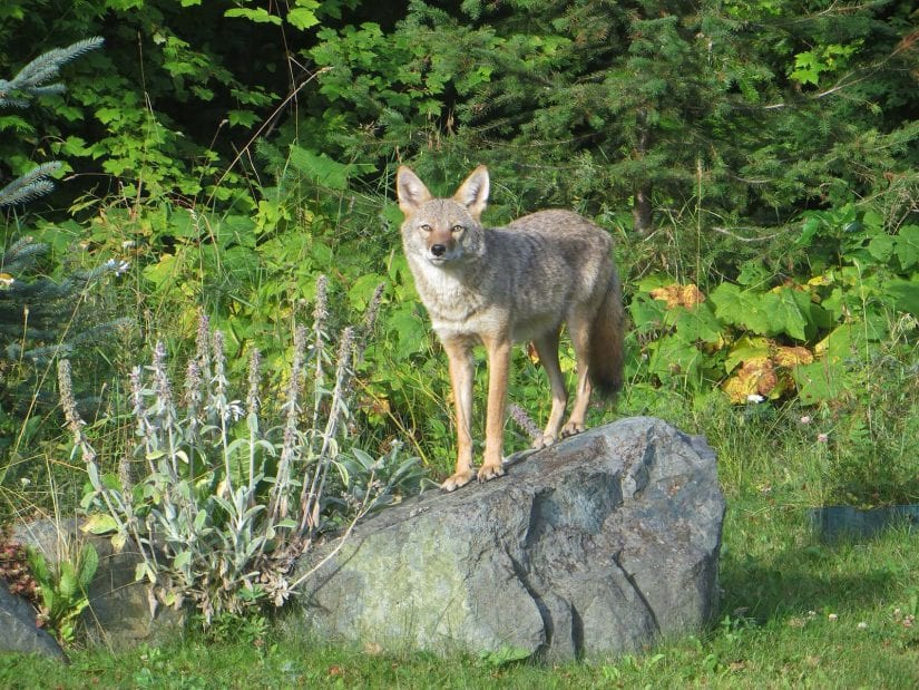 Wild coyote near forest standing on a rock