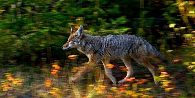 Running action shot of wild coyote