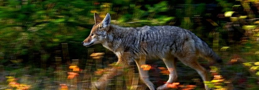 Running action shot of wild coyote